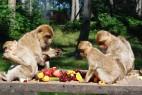 Obstmahlzeit bei den Berberaffen