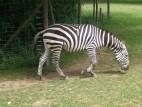 Zebras auf der Afrikawiese